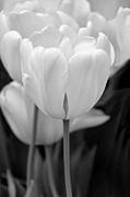 White Florals Prints - Tulip Flowers in the Garden Monochrome Print by Jennie Marie Schell