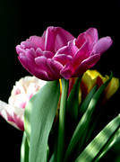Pink Tulip Posters - Tulip for Easter Poster by Sharon  Talson