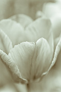 Still Life Photographs Photo Prints - Tulip Print by Frank Tschakert