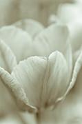 Tulip Print by Frank Tschakert