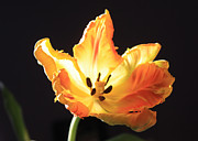Backlit Tulip Photos - Tulip by Gerry Bates