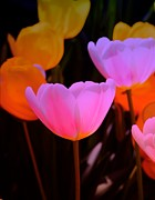 Struckle Prints - Tulip Glow Print by Kathleen Struckle
