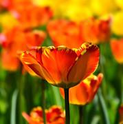 Tulip Print by Gynt