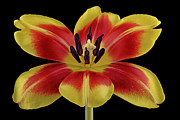 Beauty Mark Photo Framed Prints - Tulip Framed Print by Mark Johnson