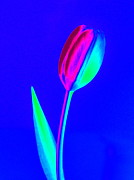 John Tidball  - Tulip on Blue