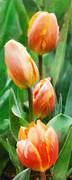 Tulip Quartet Print by Francesa Miller