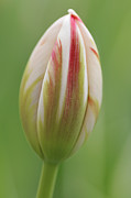 Singly Framed Prints - Tulip red and white in spring Framed Print by Matthias Hauser