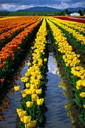 Inge Johnsson - Tulip Reflections