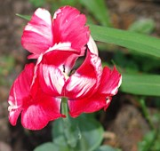 All - Tulip Regular by Rod Ismay