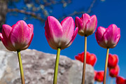 Flower Garden Photos - Tulip Revival by Chad Dutson