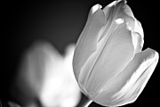 Sympathy Metal Prints - Tulip Shadows Metal Print by Alanna Dumonceaux