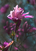 Tulip Tree Blossom Print by Sandi OReilly