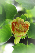 Tulip Tree Prints - Tulip Tree Print by Charline Xia