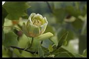 Daniel J Kasztelan - Tulip Tree Flower