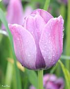 Tulip Weeps Print by Bill Woodstock