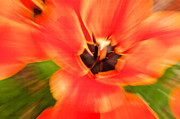 Gardens And Flowers - Tulip Zoom by Crystal Wightman