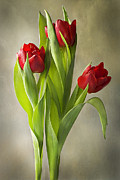 Flowering Bulbs Prints - Tulipa Print by Jacky Parker
