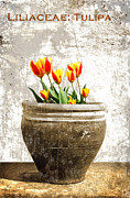 Tulip Flower Framed Prints - Tulipa Framed Print by Mark Rogan