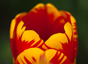 Flower Photos Posters - Tuliped Truth - Flower Photography Poster by Laria Saunders