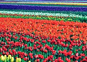 Nederland Photo Prints - Tulipomania Print by Benjamin Yeager
