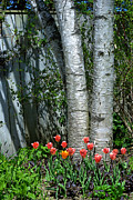 Judy Salcedo - Tulips and Birch Trees