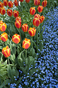 Tulip Bed Framed Prints - Tulips and Forget-me-nots Framed Print by Heiko Koehrer-Wagner