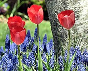 Grape Cards Posters - Tulips and Grape Hyacinths Poster by Janice Drew