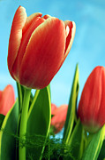 Valentine Art - Tulips background by Michal Bednarek