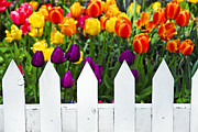 Multicolor Photo Framed Prints - Tulips behind white fence Framed Print by Elena Elisseeva