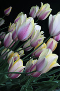 Pictures Photo Originals - Tulips Bend by Brent Easley