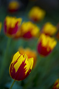 Tulips Print by Chevy Fleet