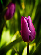 Flower Photos - Tulips by Davorin Mance