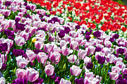 Violet Photos - Tulips Field by Sebastian Musial