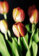 Claire Pieron Metal Prints - Tulips for your lady? Metal Print by Claire Pieron
