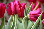 Anne Gordon - Tulips from Amsterdam