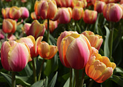 Eric Keesen - Tulips from Amsterdam