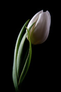 White Flower Photos - Tulips III by Tom Mc Nemar