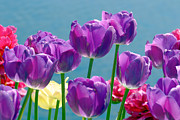 Bokhe Photos - Tulips in pink and yellow by Tommy Hammarsten