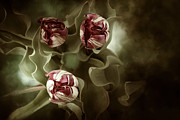 Green Burgandy Prints - Tulips in the Mist  Print by Reflective Moments  Photography and Digital Art Images