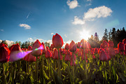 Matt Dobson Metal Prints - Tulips Kissed By The Sun Metal Print by Matt Dobson