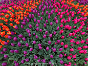 Tim Moore Metal Prints - Tulips Now Metal Print by Tim Moore