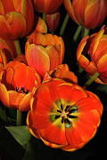 Colorful Tulips Prints - Tulips of Fire Print by Kaye Menner