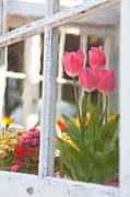 Aiolos Greek Collections - Tulips of greenhouse