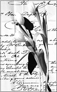 Black And White Photography Mixed Media - Tulips on Old Love Letter by Anahi DeCanio
