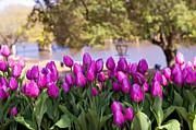 March Photos - Tulips on the Cane River by Bonnie Barry