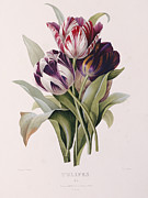 Flower Blooms Prints - Tulips Print by Pierre Joseph Redoute