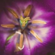 Hannes Cmarits - tulips star