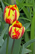 Tony Murtagh - Tulips