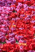 Susan Leonard - Tulips tulips tulips