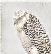 Falcon Framed Prints - Tundra Falcon Framed Print by Rebecca Cozart